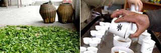 La récolte de thé 2015